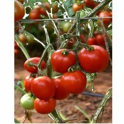 Hybrid Tomato Seeds TM - 1502