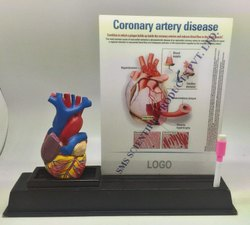 Anatomy Model With Three Slides Write And Wipe Sheets With Marker Pen In a Sturdy And Wooden Stand