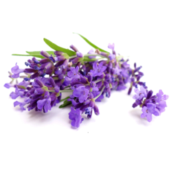 Lavender Oil 40/42