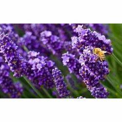 Purple Lavender Aroma Oil