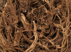Coleus Forskohli  - Plectranthus barbatus - Patharchur