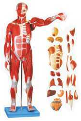 Full Size Human Body Showing Muscles & Organs Model (86 Cm)