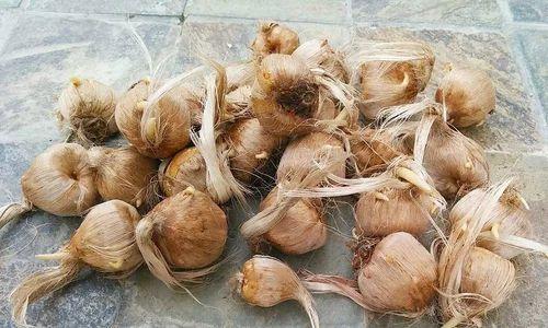 Kashmiri Saffron Bulbs at Rs 1200 /10 bulbs pack | केसर ...Kashmiri Saffron Bulbs