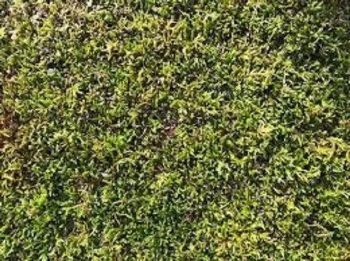 Horticulture Green Moss Grass