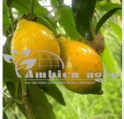 EGG FRUIT PLANTS