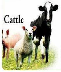 Cattle Insurance