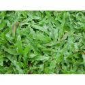 Lawn Blade Carpet Grass