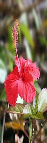 HIBICUS PLANT