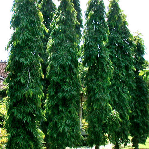 ashoka tree images  Ashoka Tree at Rs 50 /piece | Ashoka Tree - New Kush Paudhshala ...