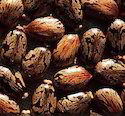 Castor Seeds (Arandi)