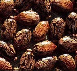 Vinayak Castor Seeds (Arandi) for Farming