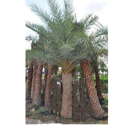 Phoenix Sylvestris Palm Trees