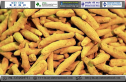 Finger Turmeric, 50 KGS, Packaging: PP BAG