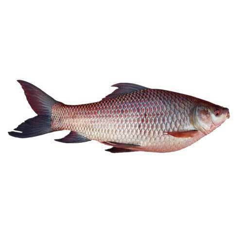 Rohu Fish, For Mess, Packaging Type: Polythene Bag