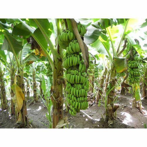 Banana Tree Pictures Photos