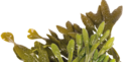 DHA Algae Oil