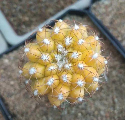 Cactus And Plant, Vellore - Cactus Plants and Copiapoa
