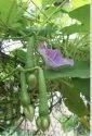 Clove Bean Seed