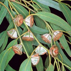 Katyani Exports India Organic Eucalyptus Oil for Pharmaceutical