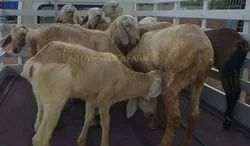Kb Mecheri Sheep Available