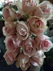Sweet Peach / Angel Pink Rose