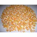 Organic Maize Seed