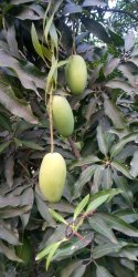 A Grade Fresh Mango, Packaging Type: Creat, Packaging Size: 25 kg