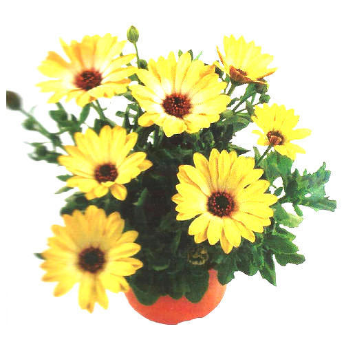 Yellow Flower Chrysanthemum Plants
