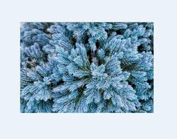 Blue Cypress Oil