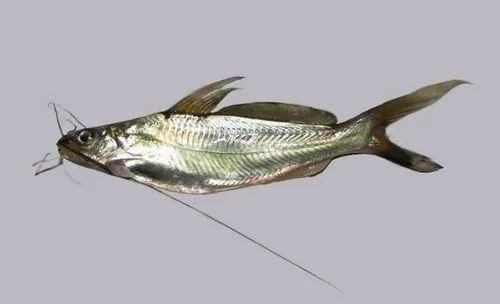 Tengra Fish Seeds