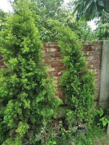 Golden Cypress Juniper आउटड र