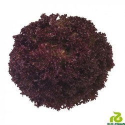Rijkzwaan Deep Red Concorde RZ Lettuce Seeds, For Agriculture, Pack Size: 5000 Seeds Per Pack