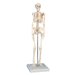 Mini Skeleton Models with Stand