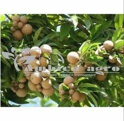 Chiku Fruits Plants