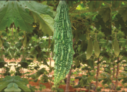 NBH Kavya Bitter Gourd