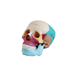 Colored Adult Skull Life Size