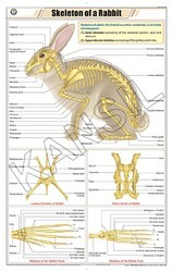 Skeleton Of Rabbit For Zoology Chart