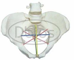 Pelvic Metry Model