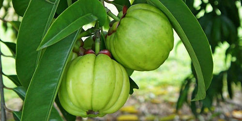 Garcinia Cambogia Brindall Berry Kudampuli Malabar Tamarind ग र स न य कम ब ज य In Patparganj New Delhi Mother Herbs P Ltd Id 19038742455