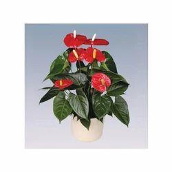 Turenza Anthurium Pot Plant