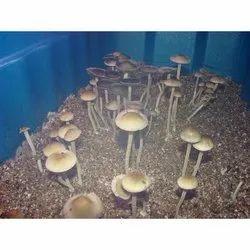 Mushroom Growing Chamber