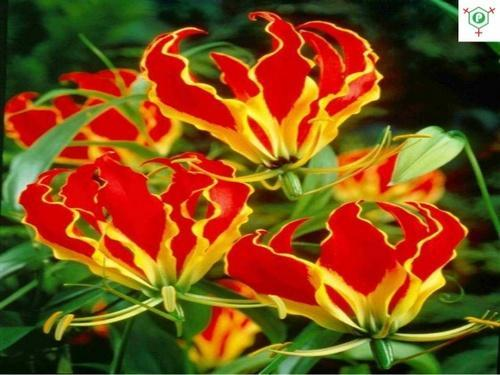 Gloriosa Superba Seeds, For Fo...