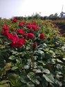 divine  open  field roses  tree