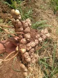 Organic Ginger Seeds