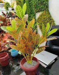 Hyperbole Artificial Plant