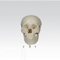 Adult Skull Life Size