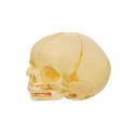Infant Skull Models