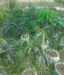 Mango Plant Retailers In India