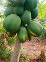 Papaya Plants Red leady taivan 786