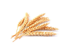 Brown Fresh Wheat
